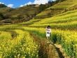 Cận Cảnh Vẻ Đẹp Ngỡ Ngàng Mù Cang Chải Rực Vàng Mùa Hoa Cải