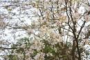 Lại một mùa hoa ban rừng sắp đến