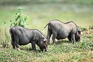 Đặc Sản Lợn Mường Tây Bắc