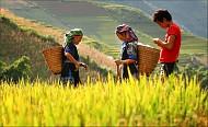 Tây Bắc Mùa Lúa Chín Rực Rỡ Sắc Vàng Trong Bộ Ảnh 'Dấu Ấn Việt Nam'